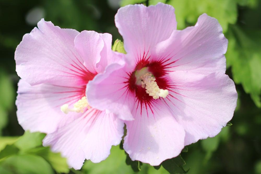 Blüten winterhart große hibiskus Staudenhibiskus