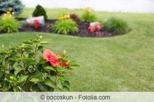 Hibiskus im Garten