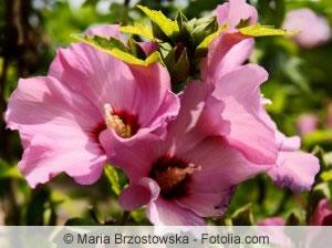 rosa Hibisken