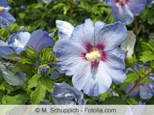 blaue Hibiskus-Blüten