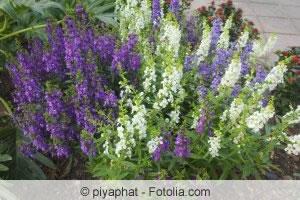 Angelonia angustifolia Sorten