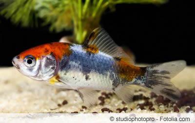 Shubunkin Fisch