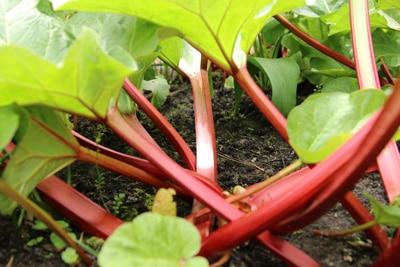 Rhabarbersorte mit rotem Stiel und hellem Fruchtfleisch