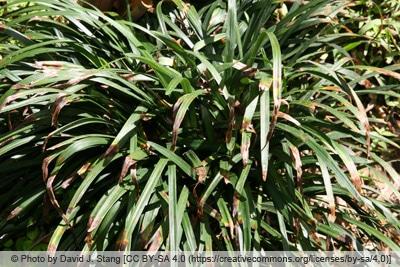Lilientraube mit braunen Blattspitzen