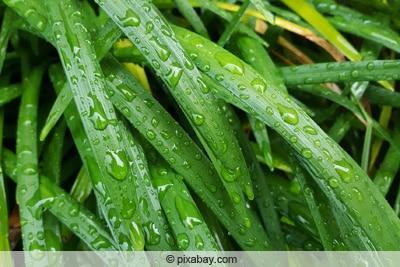 Nasse Traubenlilie