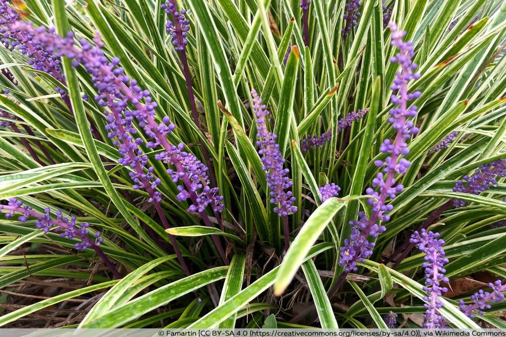 Lilientraube - Traubenlilie