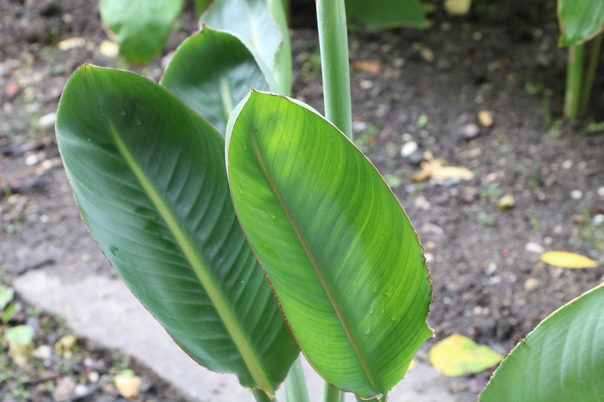Paradiesvogelblume - Strelizie