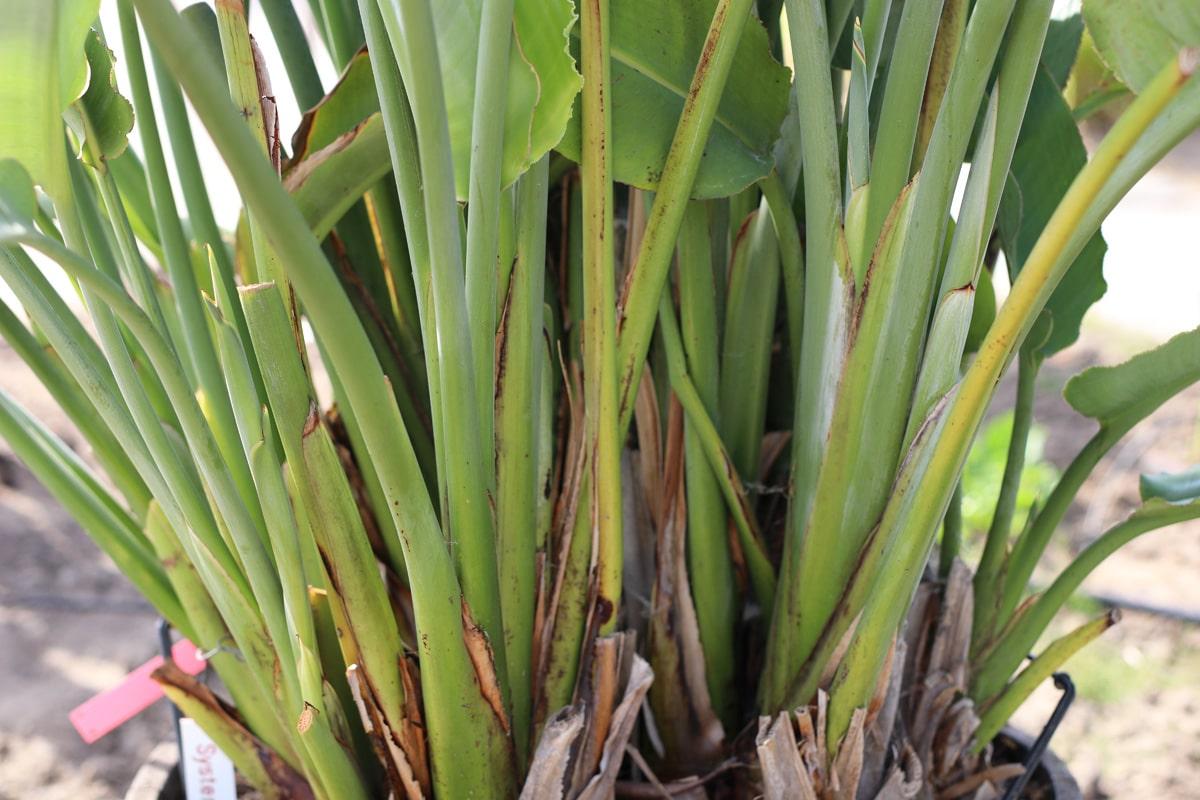Paradiesvogelblume - Strelizie - Strelitzia reginae