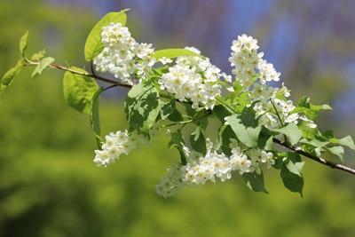 Blüte der Gewöhnlichen Traubenkirsche