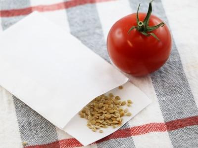 fertige Tomatensamen