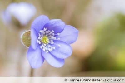 Hepatica nobilis Blüte