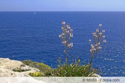 Meerzwiebel Drimia maritima