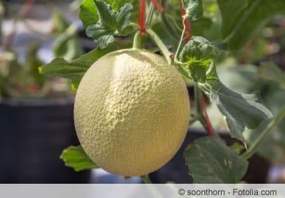 Zuckermelonen anbauen