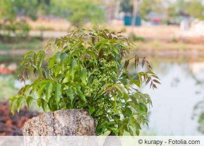 Neem Pflanze treibt aus