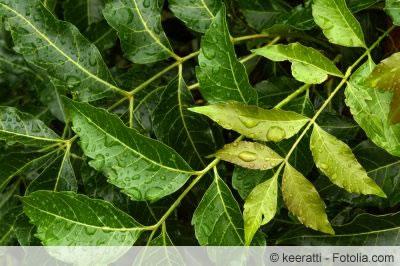 Niembaum Blätter