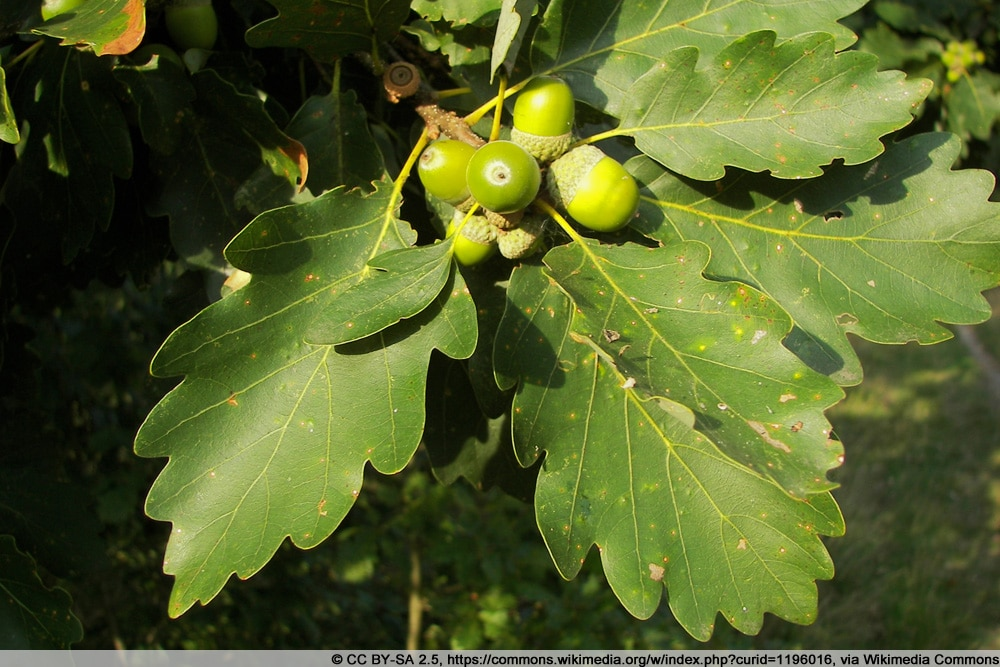 Traubeneiche - Quercus petraea