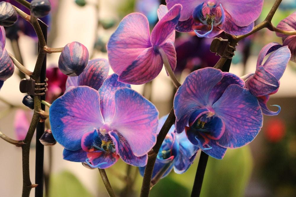 Orchidee - Schmetterlingsorchidee