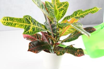 Croton gießen
