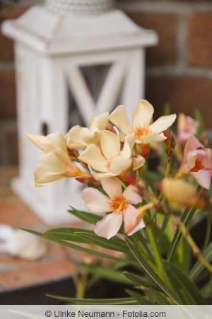 Oleanderpflanze