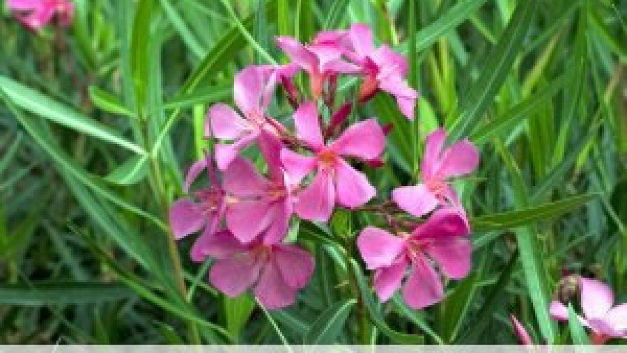 selten Oleander die Blüten sehen aus wie kleine Röschen  4 Stecklinge