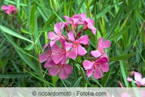 Oleander gesund
