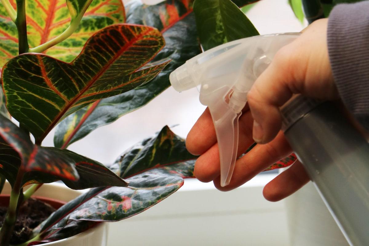 Croton - Codiaeum variegatum