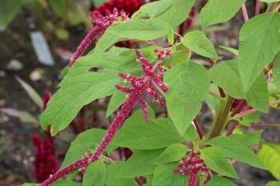 Amaranthus Pflanze