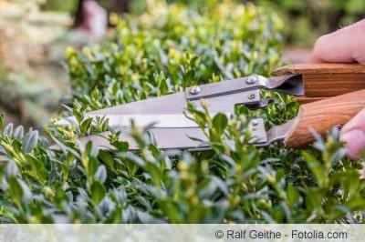 Buchsbaum Stecklinge schneiden