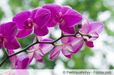 orchideen rispe