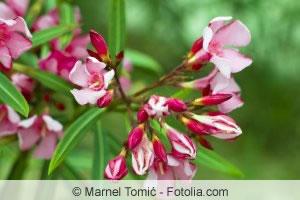Oleander Blüte