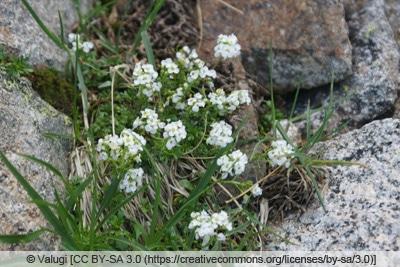 Arenaria montana - Berg-Sandkraut