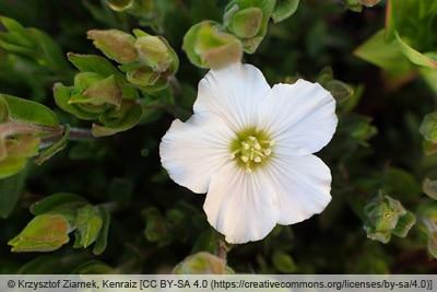 Blüte des Berg-Sandkrauts