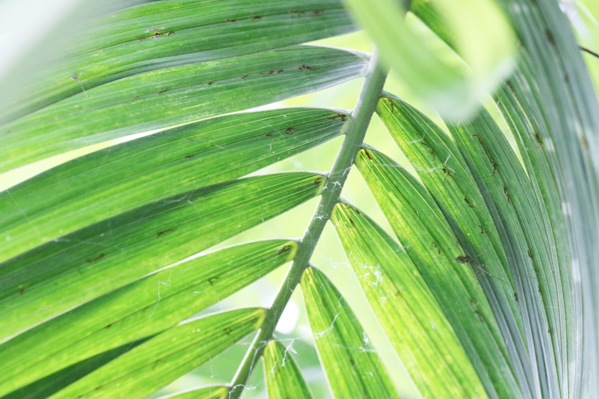 Goldfruchtpalme - Dypsis lutescens-