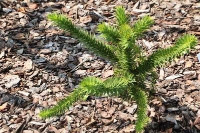 junge Araucaria araucana Pflanze