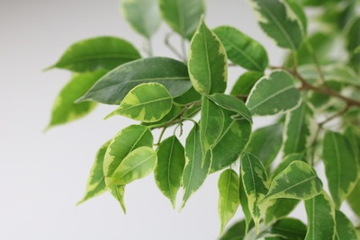 Birkenfeige mit gesunden Blättern