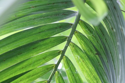 Goldfruchtpalme - Dypsis lutescens