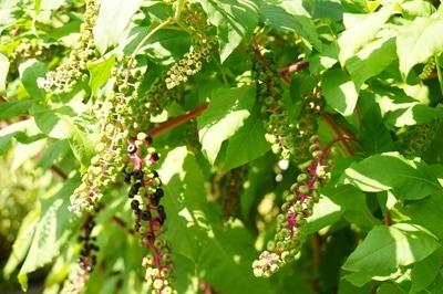 Phytolacca Pflanze mit Früchten