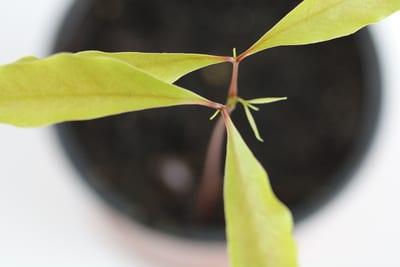 Litschi kleine Pflanze