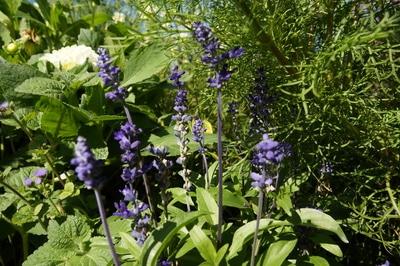 Salvia farinacea im Garten