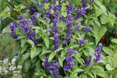 Mehliger Salbei Blüten und Pflanze