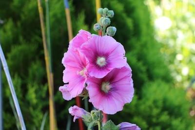 Garten-Pappelrose
