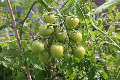 Tomatenpflanze auf dem Balkon