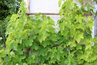Weinpflanze an Hauswand