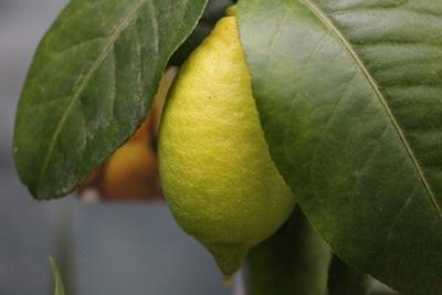 zitronenbaum Blätter