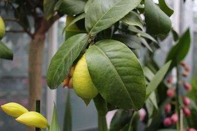 Zitronenbaum ohne gelbe braune Blätter