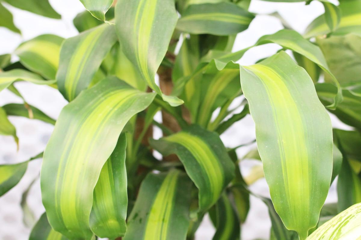 Drachenbaum - Dracaena massangeana