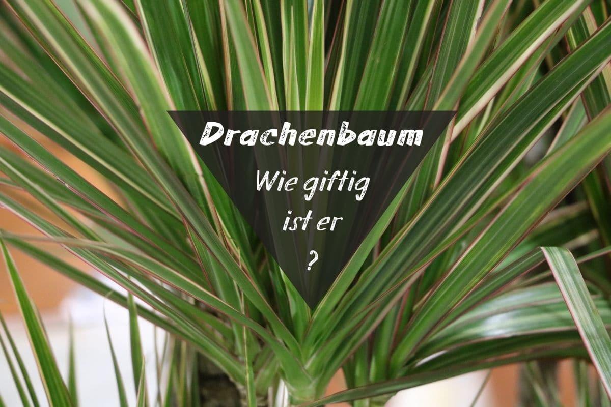 Drachenbaum - Dracaena marginata