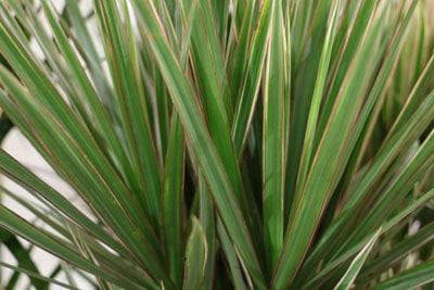 dracaena marginata Drachenbaum