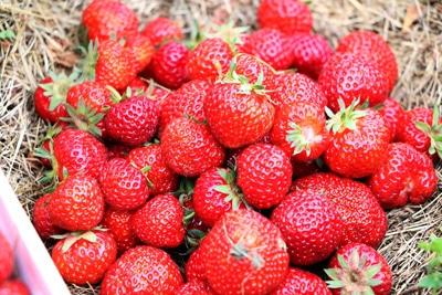 Erdbeeren - Fragaria