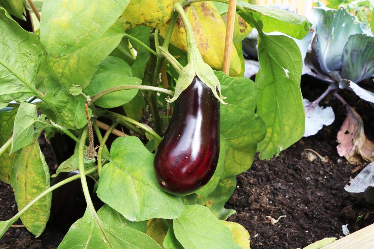 Aubergine - Eierbaum - Solanum melongena
